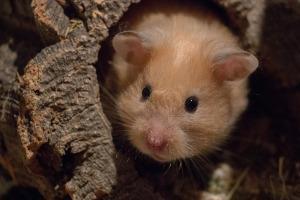 Bild Hamster in Höhle