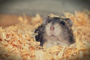 Hamster badet im Einstreu