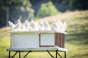 Bild weiße Tauben