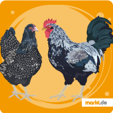 Barnevelder Huhn