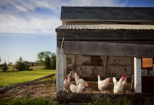 Hühner im Hühnerstall