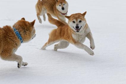 Bild Ainu Hunde im Schnee