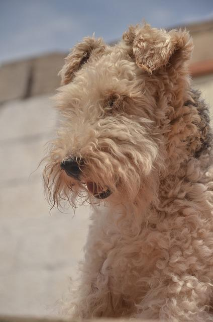 Bild Airedale Terrier