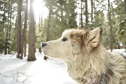 Bild Alaskan Malamute in verschneitem Wald