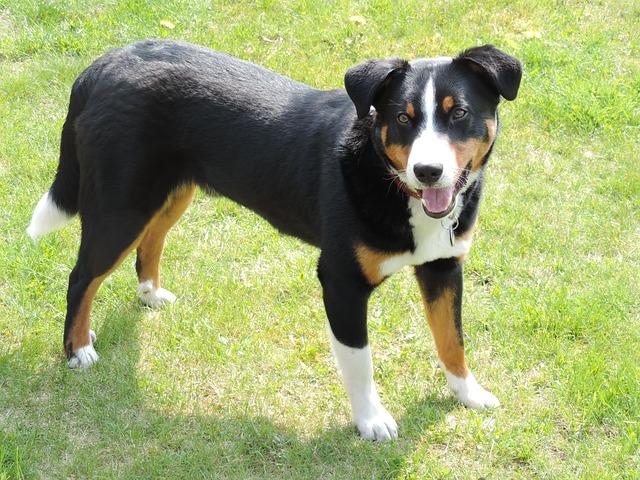 Beauceron Dogs For Sale Uk