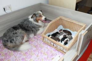 Australian Shepherd Mutter mit Welpen