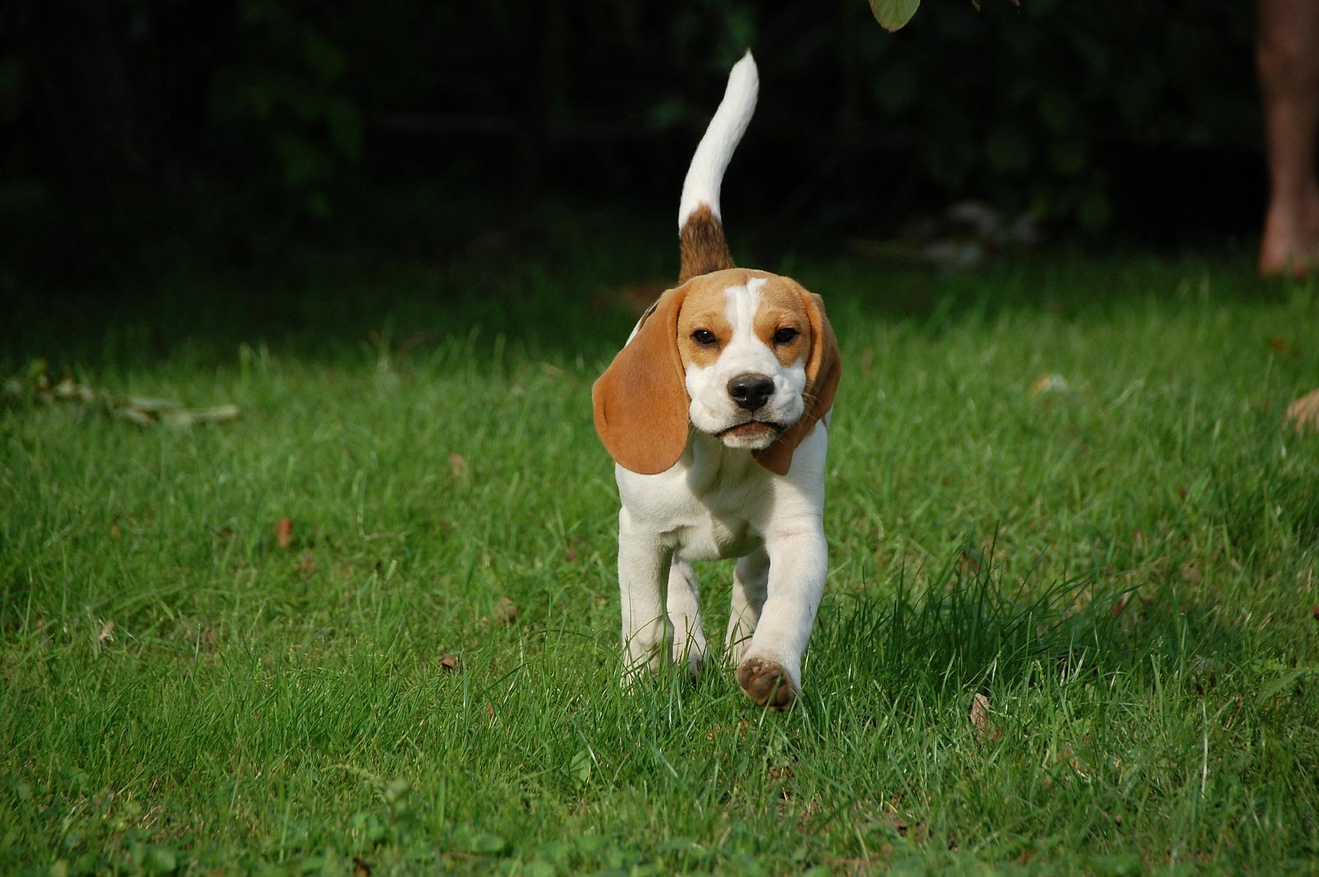 Bild Beagle