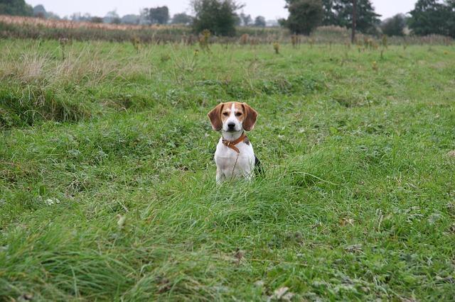 Bild Beagle auf einer Wiese