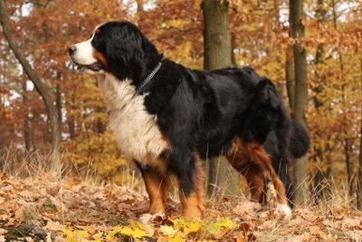 Bild Berner Sennenhund