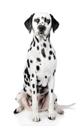 Bild Hund Dalmatiner