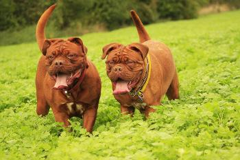 Bild zwei Bordeaux Doggen in der Wiese