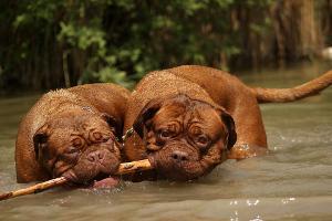 Bild Bordeauxdoggen spielen im Wasser