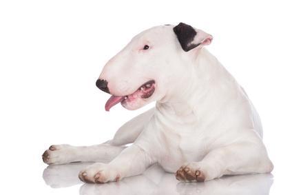 Bild Bull Terrier