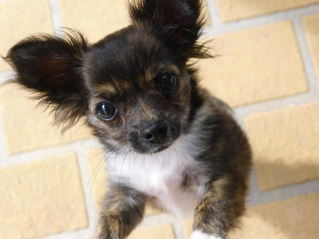 Chihuahua Pflege