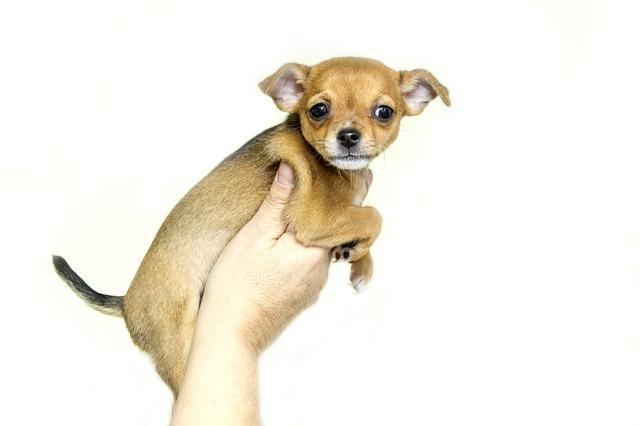 Teacup Chihuahuas sind eine Form der Qualzucht von Hunden