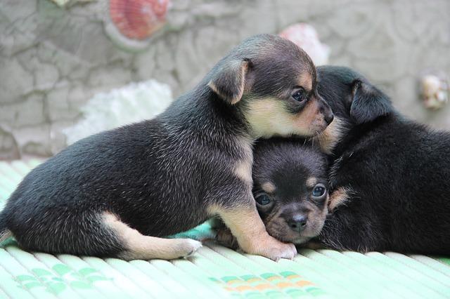 Bild Chihuahua Welpe