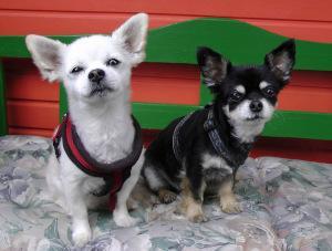Chihuahua Geschirr