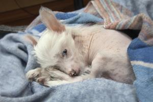 Chinese Crested in Bett