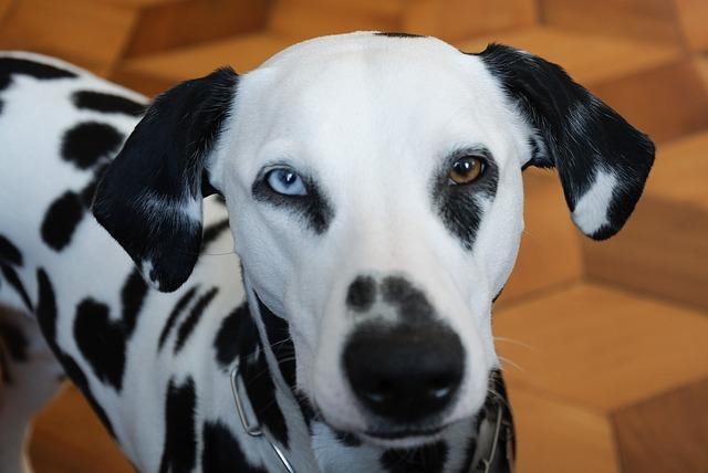 Dalmatiner zwei Augenfarben