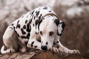 Dalmatiner Charakter