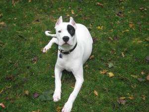 Dogo Argentino Haltung