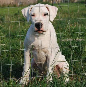 Junger Dogo Argentino