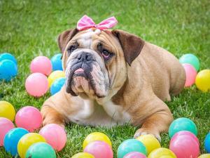 Englische Bulldogge Familienhund