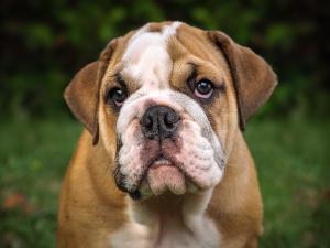 Englische Bulldogge Pflege