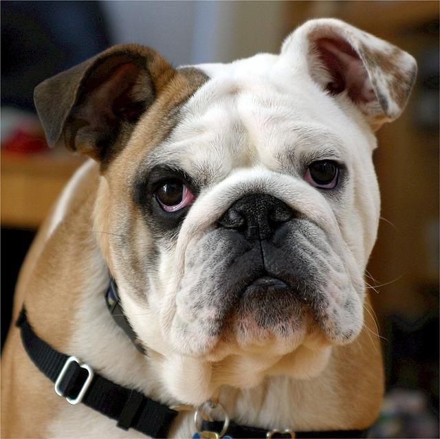 Gegen Qualzucht bei Hunden helfen neue Rassestandards der English Bulldog