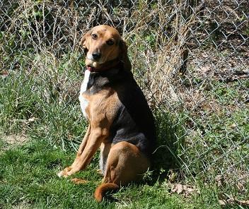 Amerikanischer Foxhound sitzt vor einem Zaun