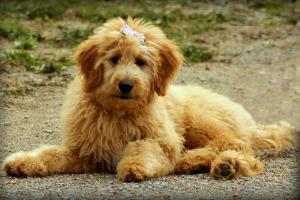 Bild goldener Goldendoodle