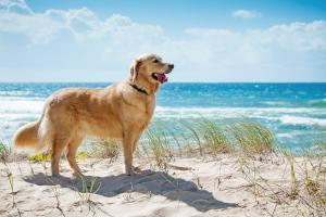 Golden Retriever am Strand