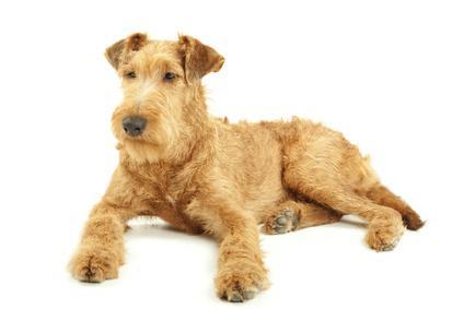 Bild Hochläufiger Terrier