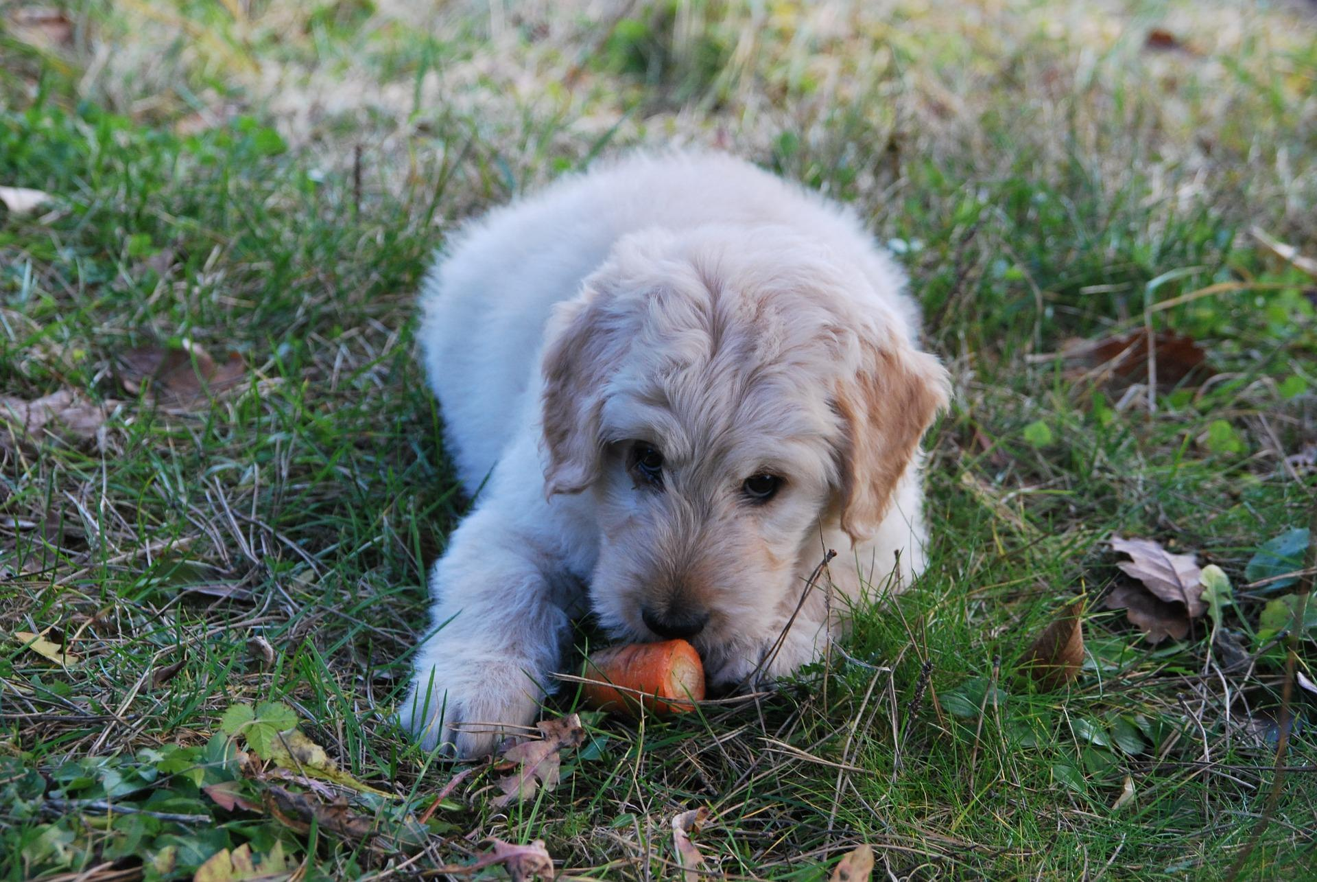 Vegetarisches Hundefutter - Karotte