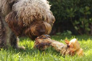 Hund frisst Knochen auf der Wiese