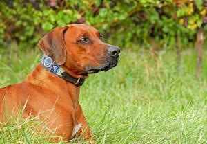 Hund mit Hundehalsband