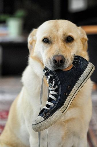 Bild Hund mit Schuh im Maul
