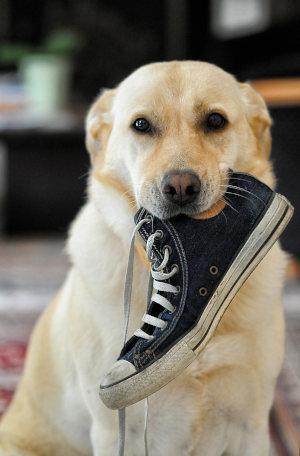 Hund mit Schuh im Maul