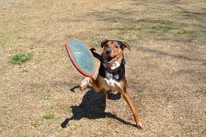 Hund ist am spielen mit seinem Frisbee.