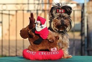 Bild Yorkshire Terrier mit Kuscheltier