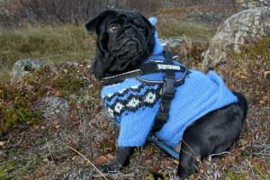 Mops in Winterkleidung