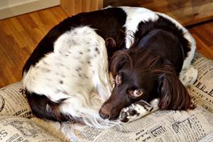 Hund liegt auf Zeitungen