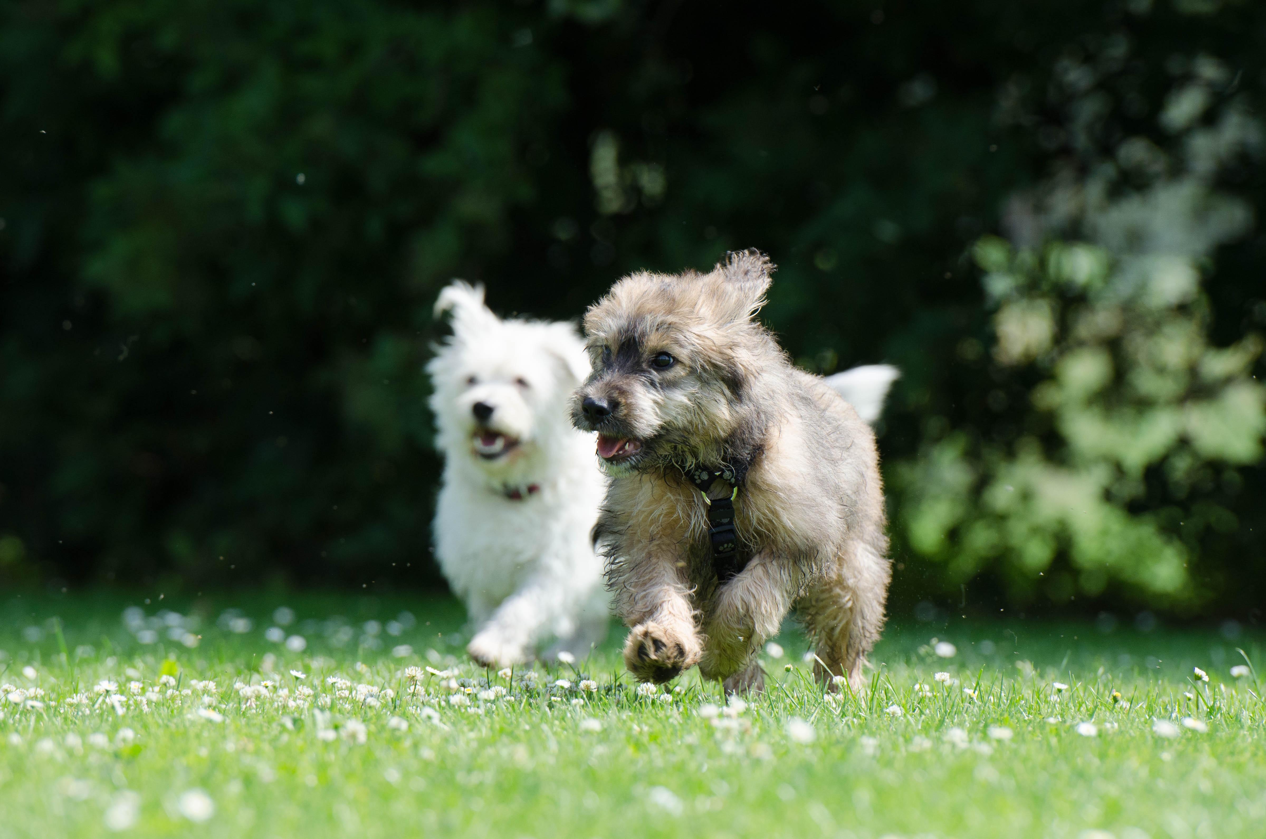 Bild zwei laufende Hunde
