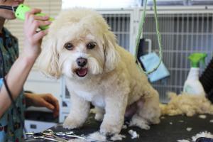 Hund beim Hundefriseur