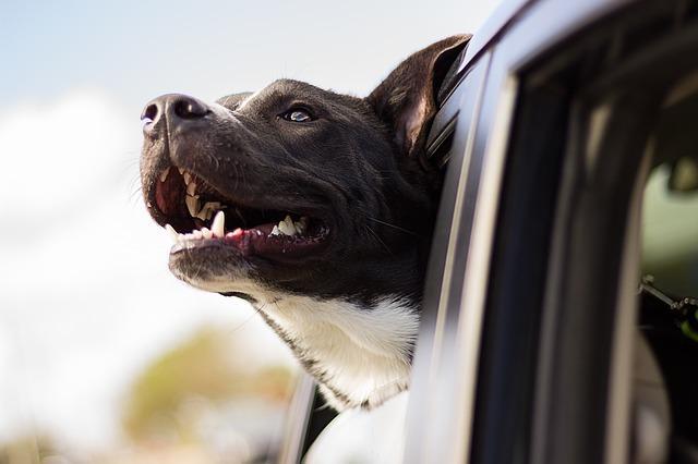 Bild Hund im Auto