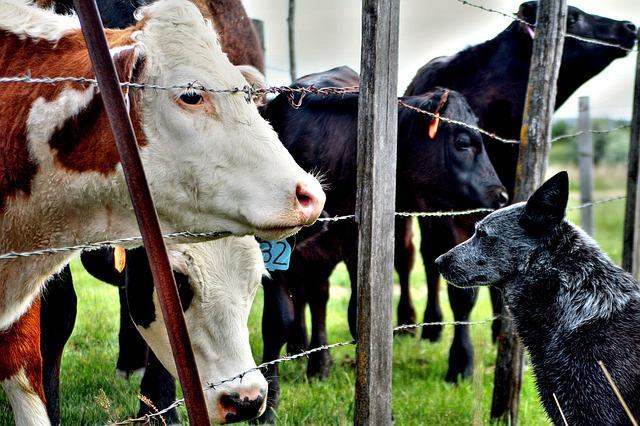 Hund mit Kuh