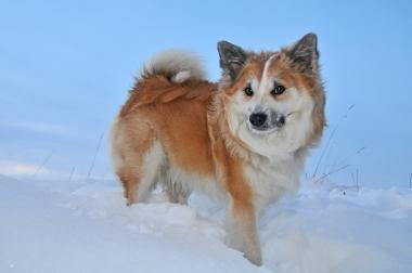 Islandhund im Schnee