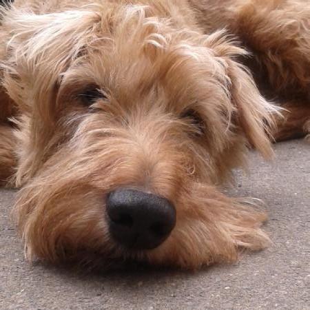 Bild Irish Terrier