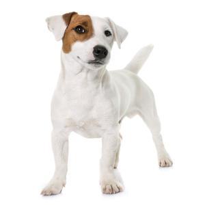 Bild weißer Hund mit brauem Fleck am Auge