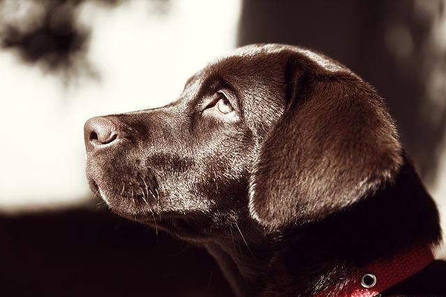 Bild Labrador
